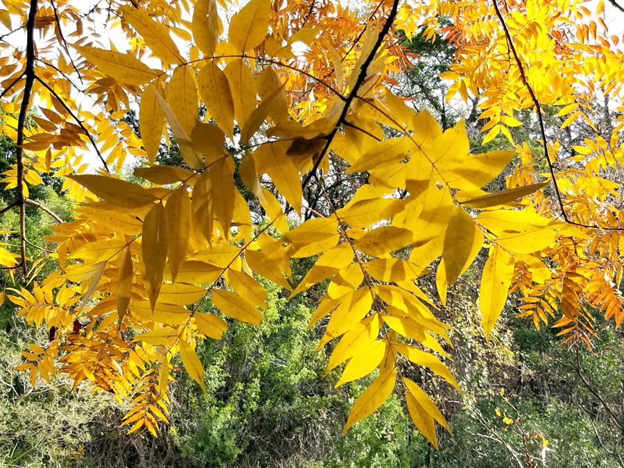 Fall Colors at the Brackenridge Field Lab