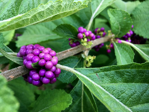Shrubs of BFL: American Beautyberry