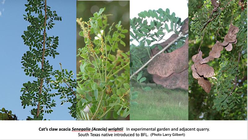 Shrubs of BFL: Catclaw Acacia