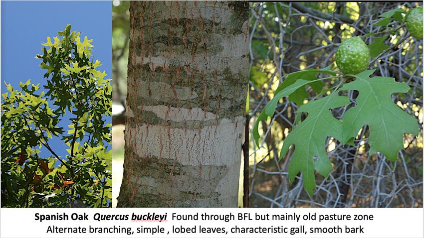 Trees of BFL: Spanish Oak