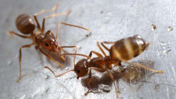 Part 1: Microsporidia Help BFL Researchers Control Invasive Crazy Ants