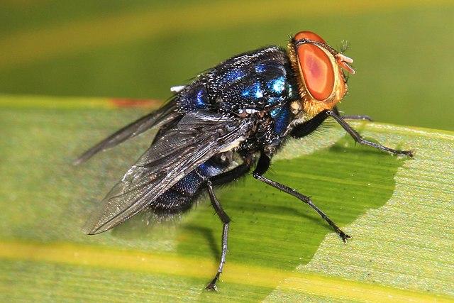 History of UT Entomology, Part 4: Screwworms
