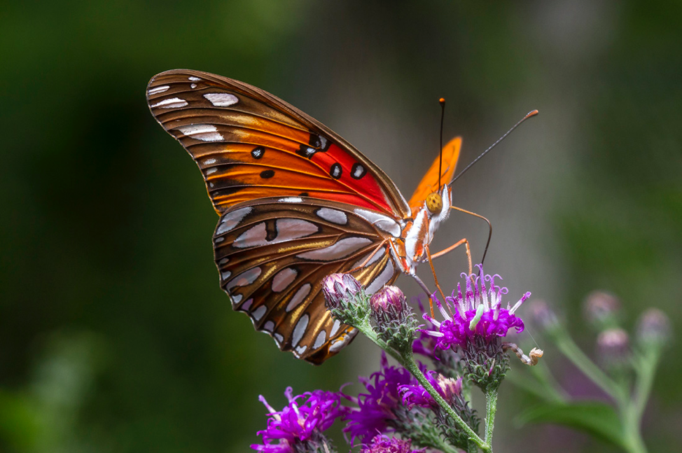 Austin's Other Orange Butterfly: the Gulf Fritillary