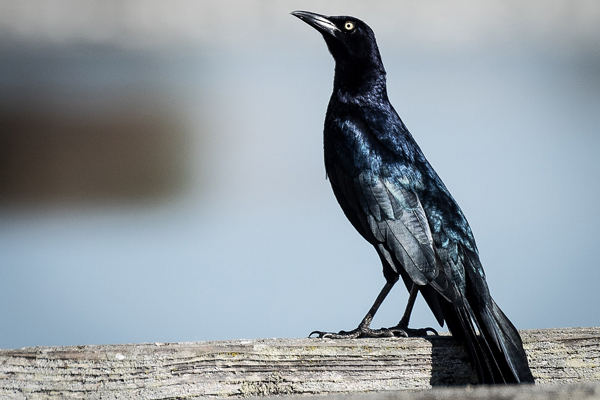 Great tailed Grackle web