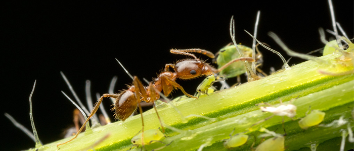 Ant Aphid