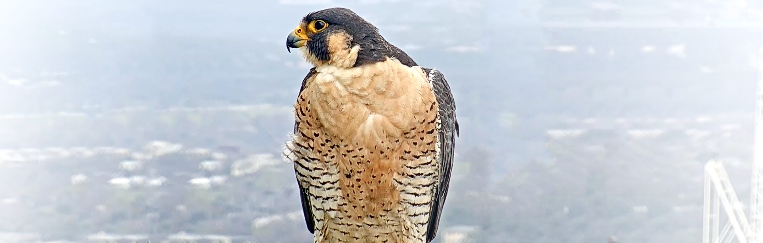 UT Tower Falcon