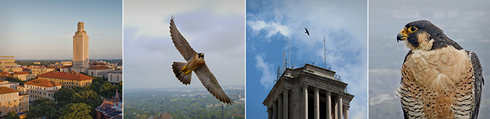 tower falcon collage
