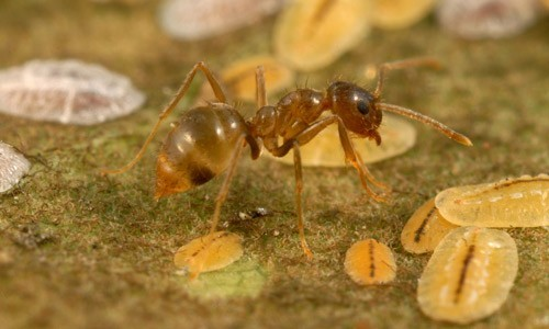 A new microsporidian is the first described pathogen of tawny crazy ants