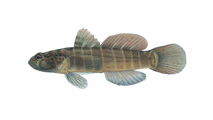 Mis-Stocking Mayhem: The Hunt for Invasive Gobies in the Colorado River Basin