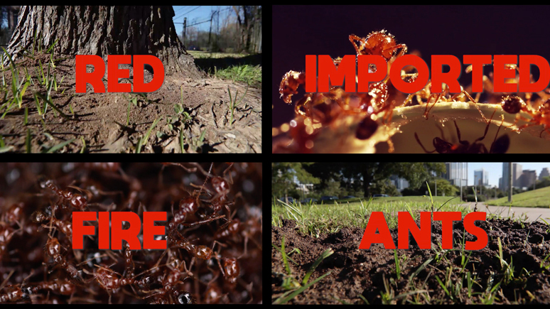 Understanding Invasive Fire Ant Biology