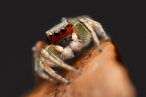BACKYARD BIODIVERSITY: Jumping Spiders