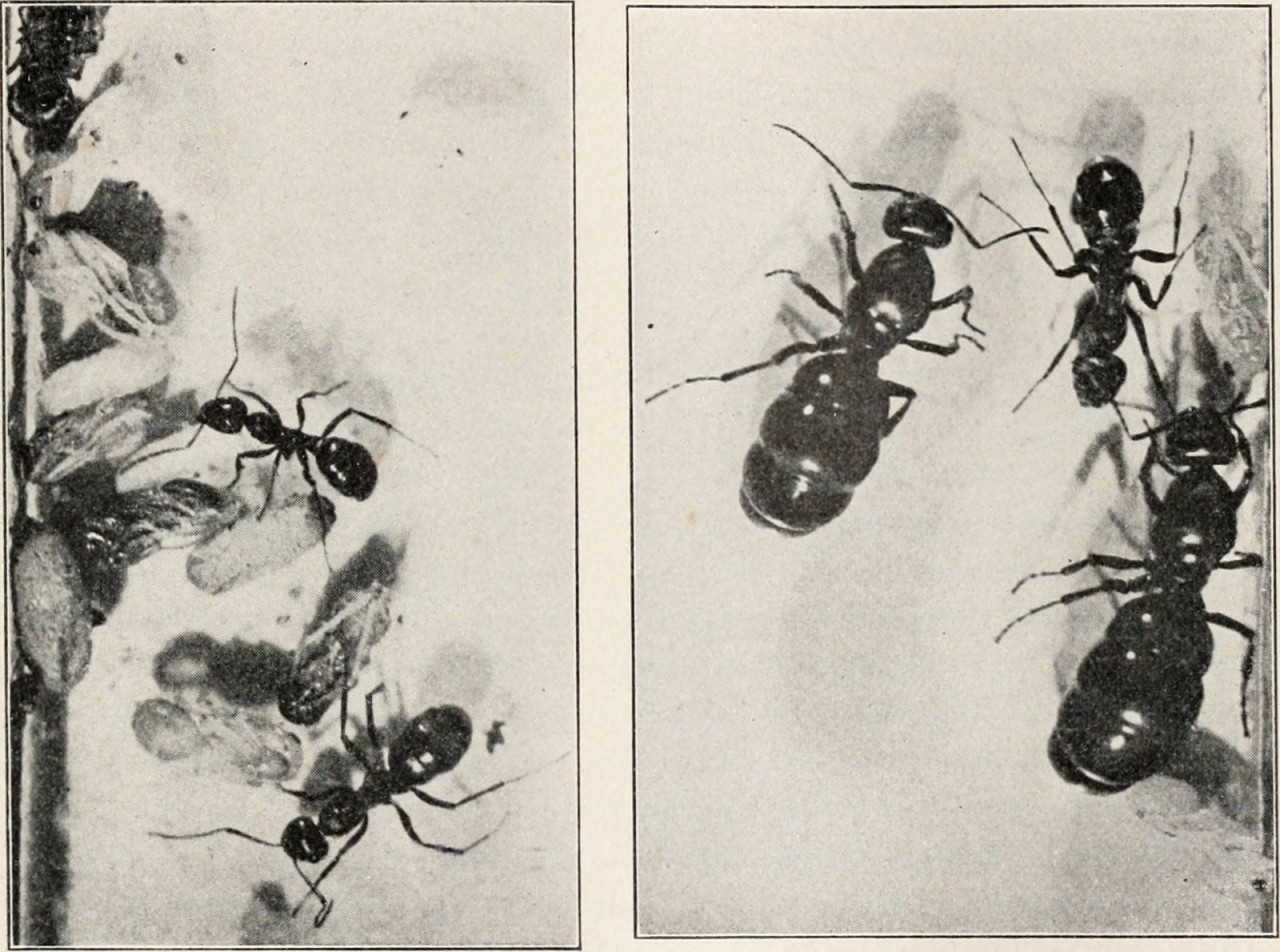 History of UT Entomology, Part 1: It Begins with Ants