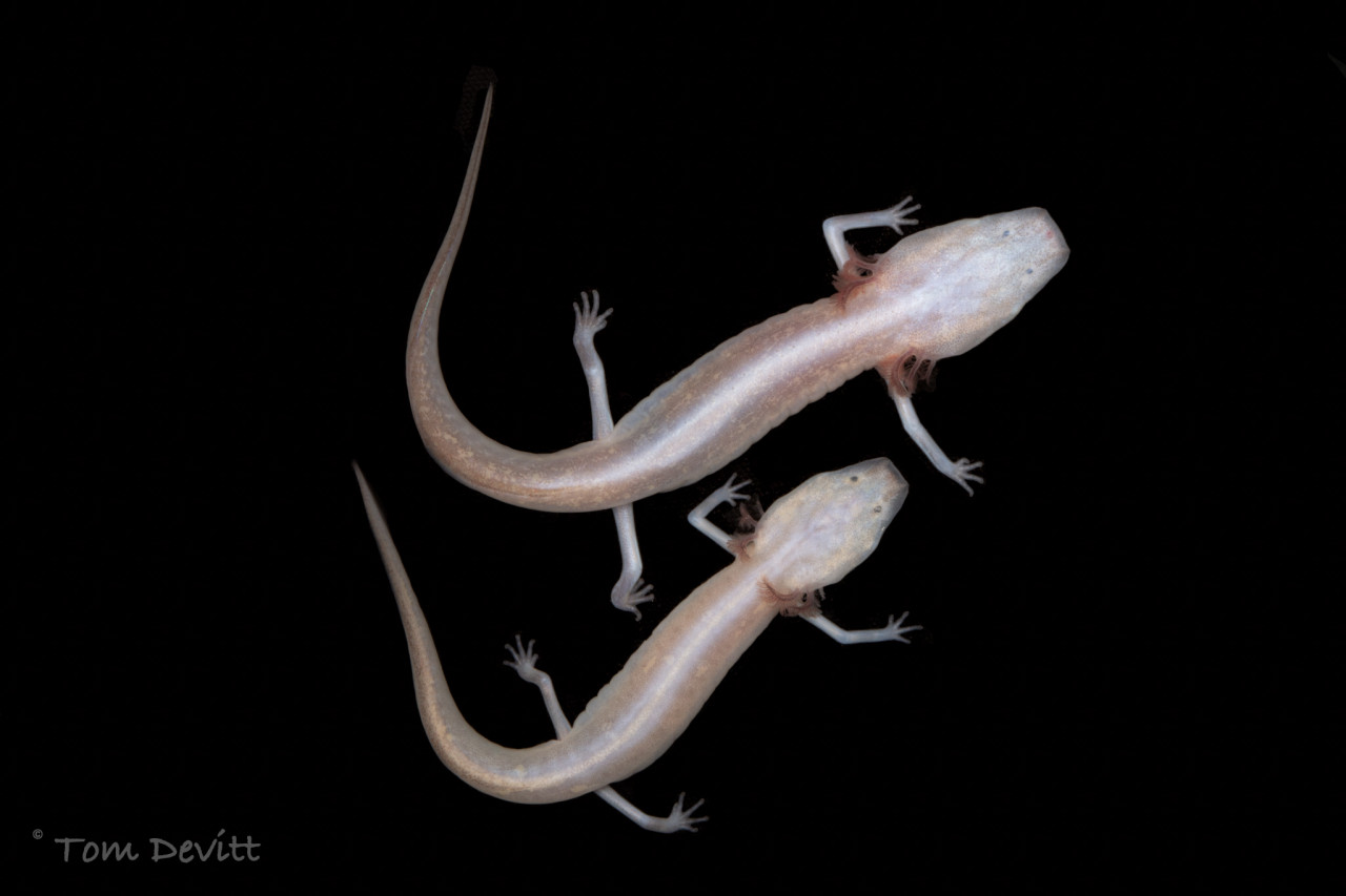 IB Researchers to Lead Three-Year Groundwater Salamander Survey