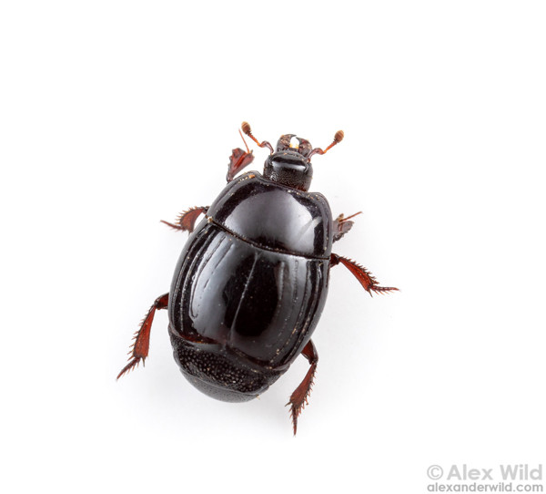 Featured Species: Clown Beetle