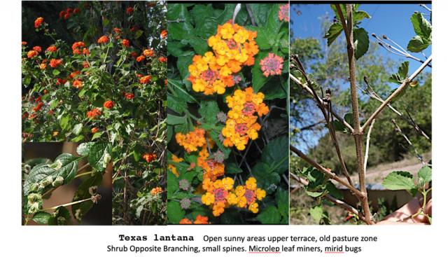 Shrubs of BFL: Texas lantana