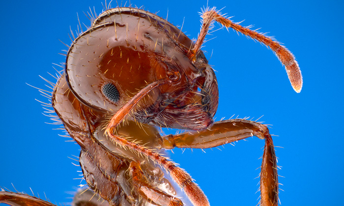 The Terrifying Science Behind Floating Fire Ant Colonies